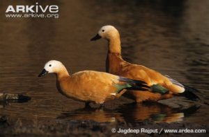 a-pair-of-ruddy-shelducks-in-shallow-water