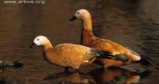 a-pair-of-ruddy-shelducks-in-shallow-water