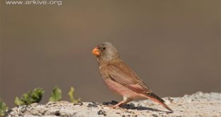 Male-trumpeter-finch